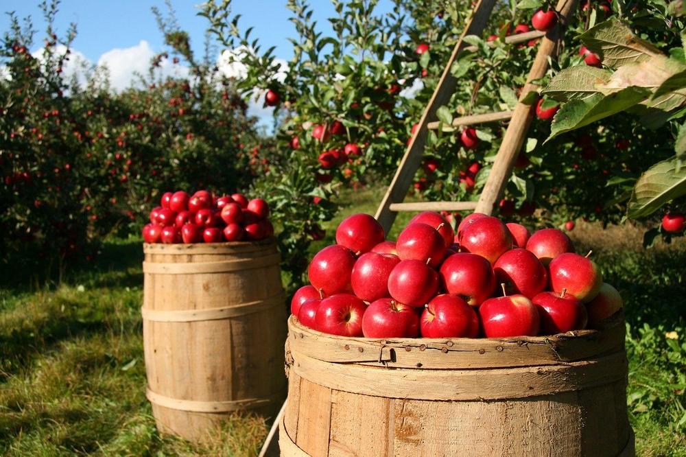 Apfel Landwirtschaft