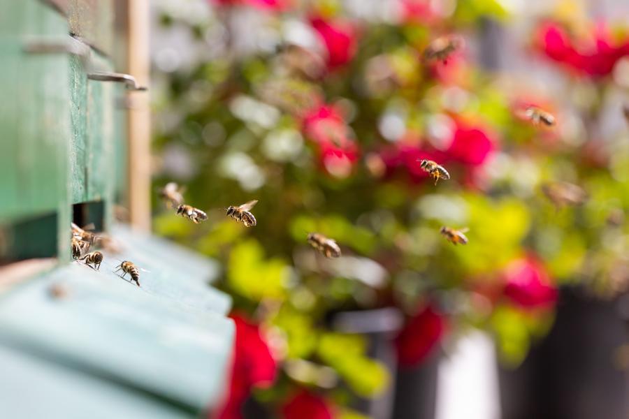 Brixen to Bee Api operose sul tetto di BT c Bressanone Turismo Matthias Gasser